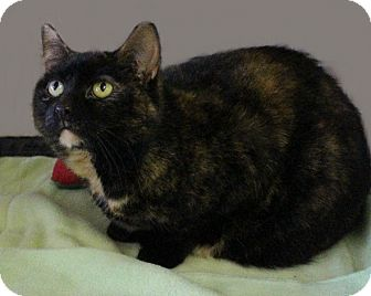 Domestic Shorthair Cat for adoption in Rochester, New York - Foxy