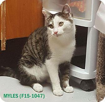 American Shorthair Kitten for adoption in Tiffin, Ohio - MYLES