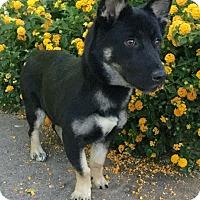 Adopt A Pet :: Short Stuff - Phoenix, AZ