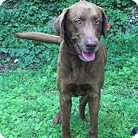 Adopt A Pet :: Chase #2 - Yorktown, VA