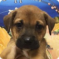 Adopt A Pet :: Peppermint - Ft. Lauderdale, FL