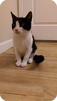 Domestic Mediumhair Kitten for adoption in Temecula, California - Usher