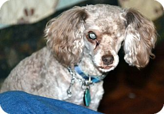 Miniature Poodle Mix Dog for adoption in Melrose, Florida - Snoopy