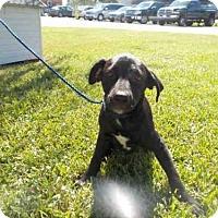 Labrador Retriever Dog for adoption in Rosenberg, Texas - A008860