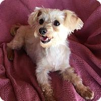 Adopt A Pet :: Lisa - Temecula, CA