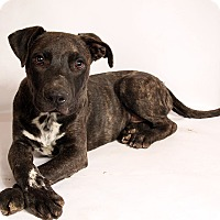 Adopt A Pet :: Leon BoxerLab - St. Louis, MO