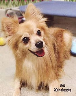 Pomeranian Dog for adoption in Studio City, California - Micro
