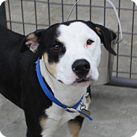 American Pit Bull Terrier/Shepherd (Unknown Type) Mix Dog for adoption in Priest River, Idaho - Lovey
