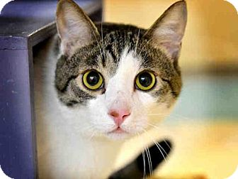 Domestic Mediumhair Cat for adoption in Pittsburgh, Pennsylvania - STANLEY