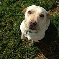Labrador Retriever Mix Dog for adoption in Bolingbrook, Illinois - BASHA