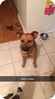 German Shepherd Dog/Rhodesian Ridgeback Mix Dog for adoption in Phoenix, Arizona - Koda