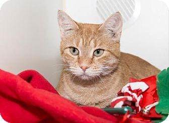 Domestic Shorthair Cat for adoption in Lowell, Massachusetts - Somerset