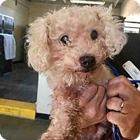 Adopt A Pet :: A655571 - Camarillo, CA
