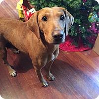 Adopt A Pet :: Marley - New York, NY