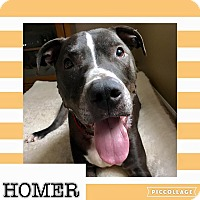 Adopt A Pet :: Homer - Voorhees, NJ