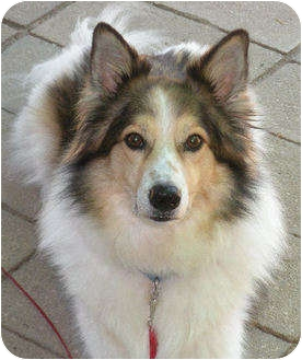 JayJay | Adopted Dog | 2850 | Minneapolis, MN | Collie ...