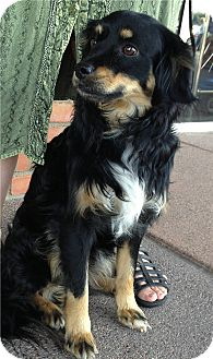 Cocker Spaniel Mix Dog for adoption in Phoenix, Arizona - Charlie