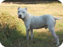American Staffordshire Terrier Mix Dog for adoption in Justin, Texas - Leo