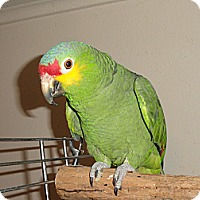 Adopt A Pet :: Dooly Red Lorde Amazon - Vancouver, WA