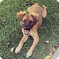 Adopt A Pet :: GEORGIE - Torrance, CA