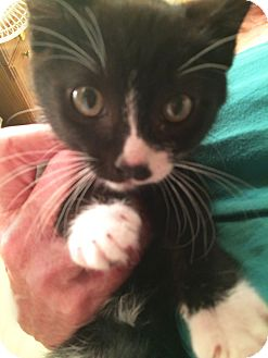 Domestic Shorthair Kitten for adoption in Mission Viejo, California - Charlie Chaplin