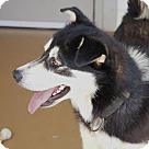Adopt A Pet :: Husky