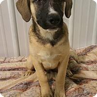 Adopt A Pet :: Arlo - Lima, OH