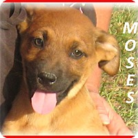 Adopt A Pet :: Moses- Adoption Pending - Marlborough, MA