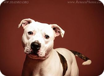 Pit Bull Terrier Mix Dog for adoption in Blacklick, Ohio - Louie