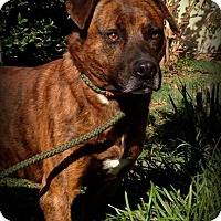 Boxer/Pit Bull Terrier Mix Dog for adoption in Demopolis, Alabama - Tiger