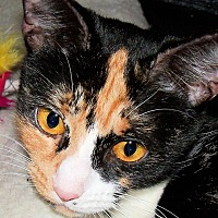 Domestic Shorthair Cat for adoption in Morganton, North Carolina - Sabrina