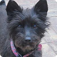 Adopt A Pet :: Shatzi - Allentown, PA