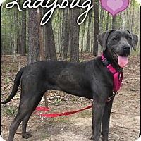 Adopt A Pet :: Ladybug (Pom-js) - Spring Valley, NY