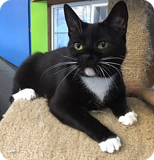 American Shorthair Cat for adoption in Los Angeles, California - Mittens