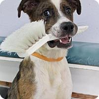 Adopt A Pet :: Cowgirl - Penngrove, CA