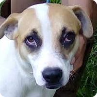 Adopt A Pet :: Becca - St Petersburg, FL