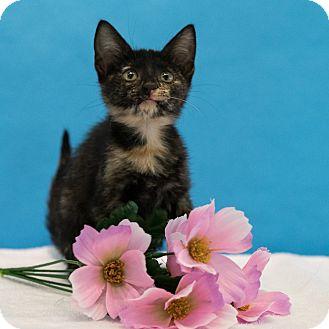 Domestic Shorthair Kitten for adoption in Houston, Texas - Enchantress