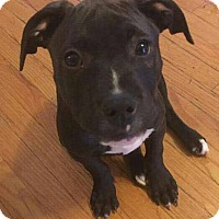 Pit Bull Terrier Mix Dog for adoption in Dayton, Ohio - Sprout