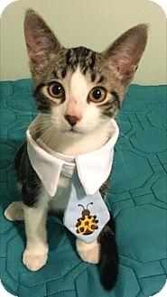 Domestic Shorthair Kitten for adoption in Walled Lake, Michigan - Earl