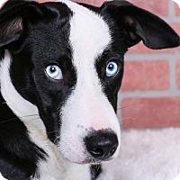 Adopt A Pet :: Blue - Cincinnati, OH