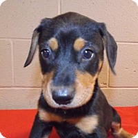 Adopt A Pet :: Pheobe - Oxford, MS