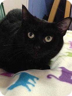 Domestic Shorthair Cat for adoption in Brattleboro, Vermont - Yvette
