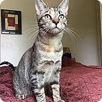 Adopt A Pet :: Anna (Lap Cat!) - Santa Ana, CA