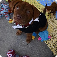 Pit Bull Terrier/Labrador Retriever Mix Puppy for adoption in Crestline, California - Hooch