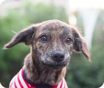 Terrier (Unknown Type, Medium) Mix Puppy for adoption in San Ramon, California - Sue