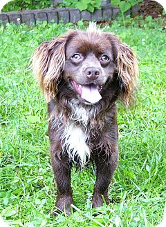 Boykin Spaniel Mix Dog for adoption in Mocksville, North Carolina - Connor