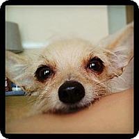 Adopt A Pet :: Scout - Anaheim, CA