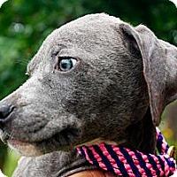 Adopt A Pet :: Roux - Houston, TX
