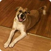 Adopt A Pet :: Amelia - Adopted! - Ascutney, VT
