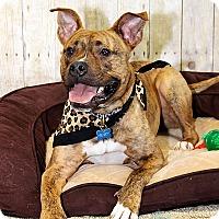 Adopt A Pet :: Henry - Villa Park, IL